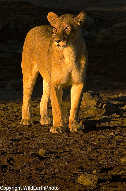Lioness At Water Hole