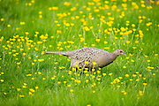 Female hen pheasant, Phasianus colchicus,  in a field of buttercups, UK