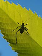 Speckled bush cricket (Leptophytes punctatissima), juvenile, Kent, UK, backlight on leaf
