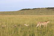 Cheetah<br /> Acinonyx jubatus<br /> Mother and 8 week old cub (s) in long grass<br /> Maasai Mara Reserve, Kenya