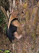 Lesser anteater (Tamandua tetradactyla) from Araras, Pantanal, Brazil.