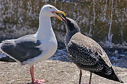 Immature  Glaucous Gull Requesting Food From Adult