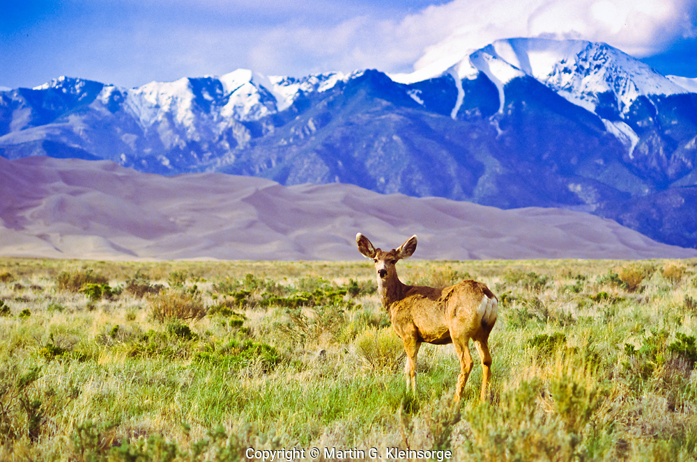 Mule deer (Odocoileus heminus) thrive at The Great Sand Dunes National Park, Colorado, USA.