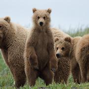 Alaska Peninsula brown bear (Usus arctos horribilis) mother and cubs. Katmai National Park, Alaska