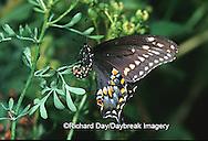03009-010.05 Black Swallowtail (Papilio polyxenes) female laying eggs on Rue (Ruta graveolens) Marion Co. IL