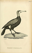 Common Cormorant (Phalacrocorax carbo, great cormorant) from the 1825 volume (Aves) of 'General Zoology or Systematic Natural History' by British naturalist George Shaw (1751-1813). Shaw wrote the text (in English and Latin). He was a medical doctor, a Fellow of the Royal Society, co-founder of the Linnean Society and a zoologist at the British Museum. Engraved by Mrs. Griffith