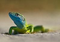 Östliche Smaragdeidechse, European Green Lizard (Lacerta viridis)