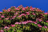 Dogwood Tree, Flowers, 550 Lumber Lane, Bridgehamton, NY