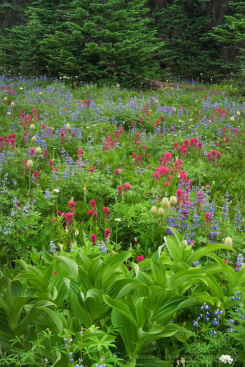 Wildflower meadows of Paradise with a mixture of False Hellebore, Broadleaf Lupines, Magenta Paintbrush, and American Bistort. Mount  Rainier National Park, Washington