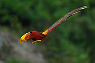 Male Golden pheasant, Chrysolophus pictus, photographed while jumping in Yangxian Biosphere Reserve, Shaanxi, China
