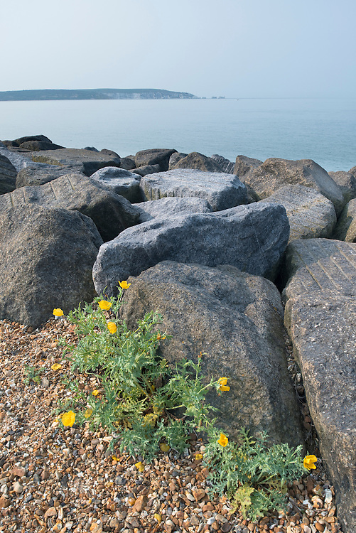Yellow Horned-poppy (Glaucium flavum) on the shingle of Hurst Spit, Hampshire