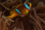Under water photography of a Red Sea or two-banded clownfish (Amphiprion bicinctus) in a Sea Anemone (Actiniaria) Photographed in the Red Sea Israel