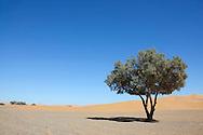A single Tamarisk tree (Tamarix articulata) in the Sahara desert against clear blue sky. .