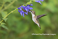 01162-15120 Ruby-throated Hummingbird (Archilochus colubris) at Blue Ensign Salvia (Salvia guaranitica ' Blue Ensign') in Marion County, IL