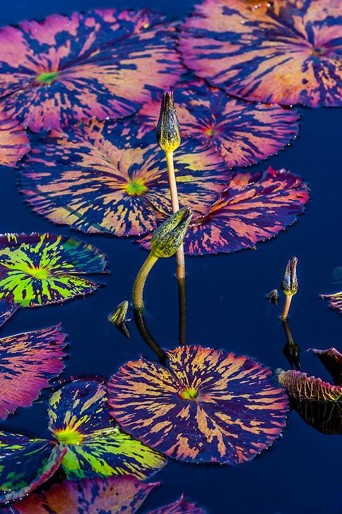 Water lilies, Denver Botanic Gardens, Denver, Colorado USA.