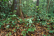 Primary Rainforest, Danum Valley, Sabah, low vegetation, undergrowth and forest floor, wide angle