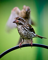 Rose-breasted Grosbeak. Image taken with a Fuji X-T3 camera and 200 mm f/2 OIS lens with 1.4x teleconverter.