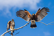 Two Harris Hawks (Parabuteo unicinctus), one immature  and one adult, perched on a tree branch with wings spread against a blue sky in the Sonoran Desert of Tucson (Arizona)