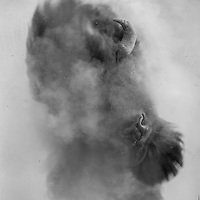 A bull bison kicks up a dust storm to fend off flies on a mid-June morning in Western Montana.