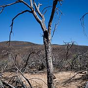 Dead mesquite trees, June 24, 2019, near Old Agua Caliente Road, Hyder, Arizona.
