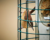 Carolina Wren at a bird feeder. Image taken with a Nikon D850 camera and 500 mm f/4 VR telephoto lens (ISO 1100, 500 mm, f/4, 1/500 sec).
