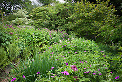 Geranium psilostemmon in the borders at Glebe Cottage. Cranesbill