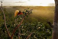 Greater Bird of Paradise (Paradisaea apoda)..Badigaki Forest, Wokam Island in the Aru Islands, Indonesia.