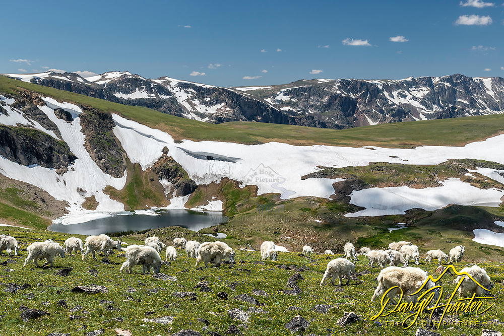 Mountain Goats enjoying the fresh tundra flowers and sprouting forbs of their high mountain home on the Beartooth Plateau of northern Wyoming.