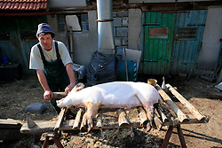 CZECH REPUBLIC VYSOCINA NEDVEZI 10APR09 - Slaughtered pig gets washed and skinned in the backyard of a farm in the village of Nedvezi in the Czech Republic. Slaughtering pigs at home is an old tradition in central and eastern Europe. EU regulations and health and hygiene rules state that animals can only be slaughtered by licensed butchers...jre/Photo by Jiri Rezac..© Jiri Rezac 2009