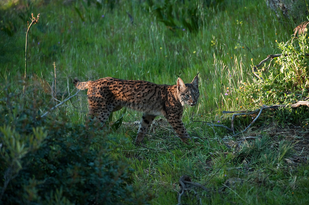 Iberian Lynx (Lynx pardinus) one year old female <br /> Sierra de Andújar Natural Park, Mediterranean woodland of Sierra Morena, north east Jaén Province, Andalusia. SPAIN<br /> RANGE: Iberian Penninsula of Spain & Portugal.<br /> CITES 1, CRITICAL - DANGER OF EXTINCTION<br /> Fewer than 200 animals in the wild. There is a reduced genetic variability due to their small population. They have suffered due to hunting, habitat loss and road accidents, but the most critical threat today is the reduced numbers of wild Rabbits (Oryctolagus cuniculus) within the lynx's range. The rabbits are the principal food source of the lynx and they are suffering from deseases such as Myxomatosis & Rabbit haemoragic virus. The lynx is also suffering from deseases such as feline leukaemia<br /> A medium sized cat weighing 12-15kgs, Body length 90cm, Shoulder height 45-50cm. They have a mottled fur pattern, (3 varieties of fur pattern found between the different populations and distinguishing them geographically)  short tail, ear tufts and are bearded. They are territorial cats although female cubs have been found to share their mother's territory. Mating occurs in Dec/Jan and cubs born around April. They live up to 13 years.<br /> <br /> Mission: Iberian Lynx, May 2009<br /> © Pete Oxford / Wild Wonders of Europe<br /> Zaldumbide #506 y Toledo<br /> La Floresta, Quito. ECUADOR<br /> South America<br /> Tel: 593-2-2226958<br /> e-mail: pete@peteoxford.com<br /> www.peteoxford.com