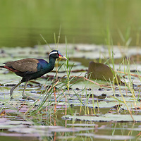 The bronze-winged jacana (Metopidius indicus) is a wader in the family Jacanidae. It is found across South and Southeast Asia and is the sole species in the genus Metopidius. Like other jacanas it forages on lilies and other floating aquatic vegetation, the long feet spreading out its weight and preventing sinking.