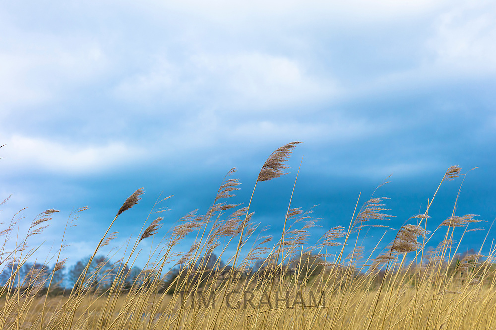 Grasses and reeds blowing in the wind in a reedbed on the marshes in The Somerset Levels Nature Reserve in Southern England, UK