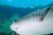 tiger shark, Galeocerdo cuvier, showing five gill slits characteristic of most sharks, Bahamas