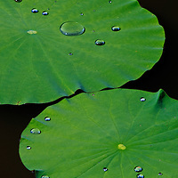 """Close-up of water droplets on two floating lotus leaves (Nelumbo nucifera), Kenilworth Park and Aquatic Gardens, Washington, DC.  Due to the superhydrophobic structure of the lotus leaf (including micro- and nanostructures plus hydrophobic waxes) the force of cohesion between the water molecules is greater than the adhesion forces to the leaf, known as the """"lotus effect"""".  Biomimicry has led to many commercial applications."""