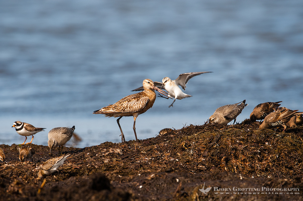 The Bar-tailed Godwit is a large wader. In argument with a Sanderling. At Revtangen on Jaeren, south west Norway.
