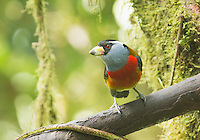 Toucan barbet, Semnornis ramphastinus, at Refugio Paz de las Aves, Ecuador. Listed as Near Threatened on the IUCN Red List of Threatened Species.