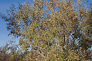 Closeup of ripe red apples on tree