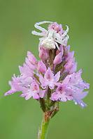 Crab spider (Misumena spec.) on Pyramidal Orchid (Anacamptis pyramidalis), San Marino.