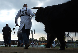 © Licensed to London News Pictures. <br /> 08/07/2014. <br /> <br /> Harrogate, United Kingdom<br /> <br /> A bull is led into the main judging arena during the first day of the Great Yorkshire Show. The show is England's Premier Agricultural Event and is based on the 250-acre Great Yorkshire Showground near Harrogate. The Main Ring is the hub of the Show providing a setting for international show jumping and world class cattle parade. The showground is filled with animals, country demonstrations, have-a-go activities and rural crafts.<br /> <br /> Photo credit : Ian Forsyth/LNP