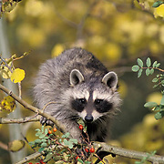 Raccoon, (Procyon lotor) Baby coon in fall colored aspen tree, feeding on rosehips. Captive Animal.