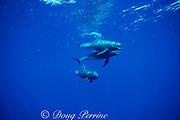 pygmy killer whales, Feresa attenuata, Kona, Hawaii ( Central Pacific Ocean )