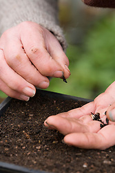 Sowing agapanthus seed into seed tray