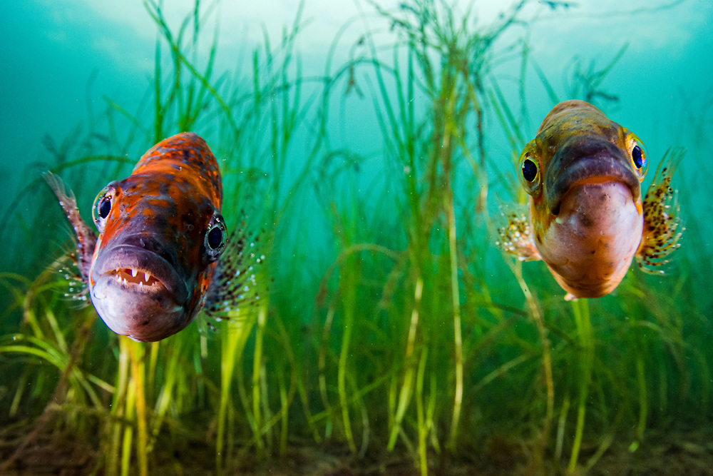 A pair of cunners (Tautogolabrus adspersus) in front of eelgrass (Zostera marina) off Newfoundland, Canada.