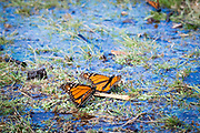 Monarchs drink water, extracting minerals from wet grasses and puddles.