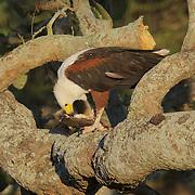 African Fish Eagle, feeding on a bull head fish, Malamala Game Reserve, South Africa