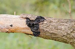 Eikentrilzwam, Exidia glandulosa