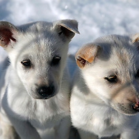 "North America, USA, Alaska, Skagway. Puppies at dog camp on a ""Glacier Dog-Sledding"" shore excursion in Alaska."