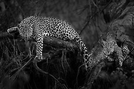 Leopard and her cub sit on a fever tree with alert and curious eyes.
