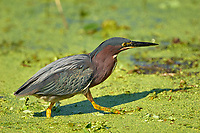 Green Heron (Butorides virescens) Green Cay Nature Area Delray Beach, Florida USA