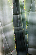 Abstract pattern of leaves agave americana cactus plant growing in Cabo de Gata natural park, Almeria, Spain
